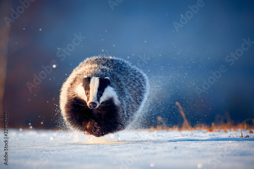 Vászonkép Attractive winter scene with badger