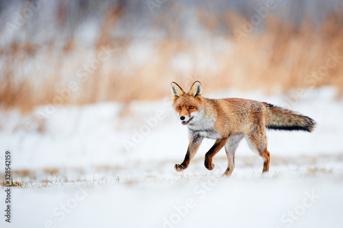 Beautiful young red fox (Vulpes vulpes) running away from freshly fallen snow Fototapet