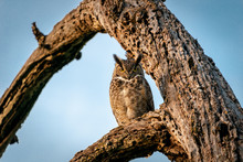 Great Horned Owl Perched Durin...