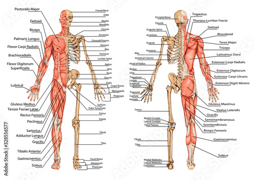 Photo human skeleton from the posterior and anterior view - didactic board of anatomy