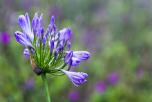 Agapanthus Praecox Or African Lily
