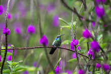 Lesser Violetear Or Colibri Cy...