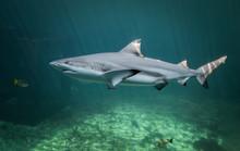 Blacktip Reefs Shark Swimming.