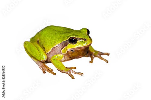 Photo European tree frog (Hyla arborea / Rana arborea) against white background
