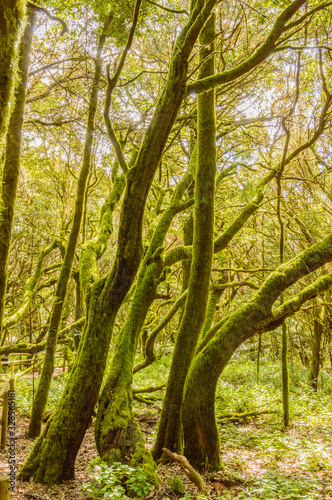 Monteverde Canary Island Fayal Brezal Are Beech Morella faya and heather Erica arborea, covered with moss and lichen in Garajonay National Park Canvas Print