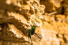 A Green Grasshopper Climbs A G...