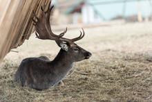 Deer And Roe Deer In The Pasture