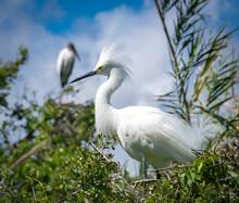 Snowy Egret In Breeding Plumag...