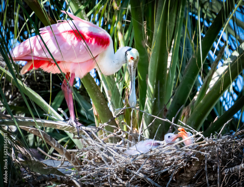 Photo roseate spoonbill on nest with chicks at rookery in St