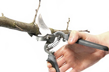 Secateurs In Hand On A White B...