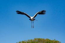 Wood Stork Flying Over Nest Si...