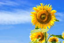 Sunflower On Clear Sky On Summ...