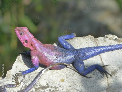 Photo Southern tree agama by Lake Victoria