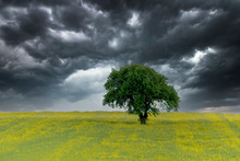 Isolated Tree Surrounded By Rape Field Under Stormy Sky