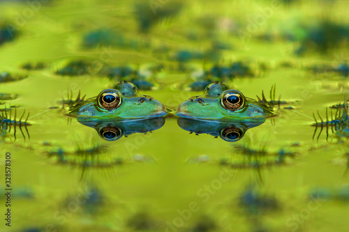 Two frogs - Anura have their heads in the water facing each other, nice eyes are seen and the image is reflected in the water Canvas Print