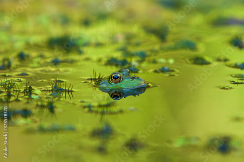Photo Frog - Anura's head is in the water, nice eyes are seen and the image is reflected in the water