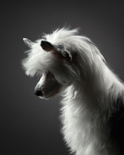 Portrait Of A Chinese Crested ...
