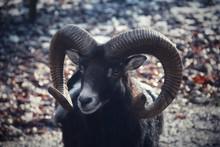 Goat On A Rock Mouflon