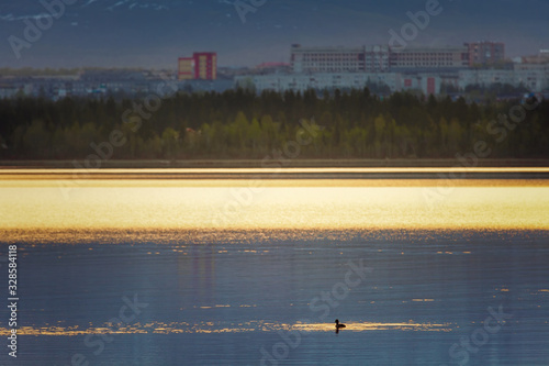 Lonely duck swimming in Imandra lake Canvas Print