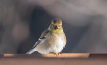 American Goldfinch (spinus Tri...