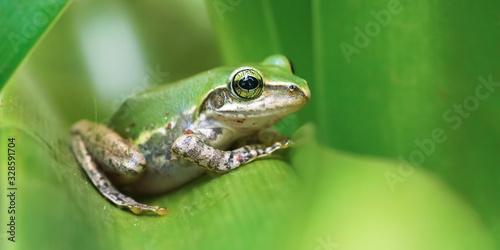 Obraz na płótnie Small Madagascar green tree frog resting on green leaf, closeup detail