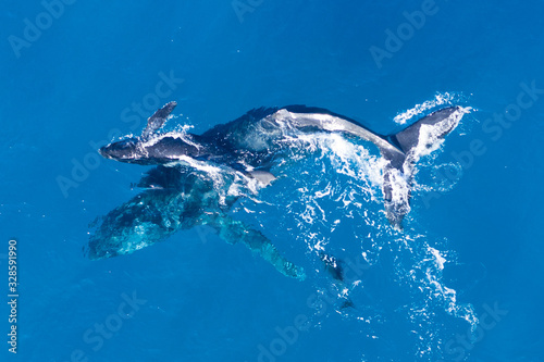 Tablou Canvas Humpback whales photographed with drone off the coast of Kapalua, Hawaii
