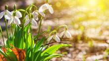 Galanthus Nivalis Or Common Sn...