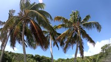 Coconut Palm Trees Under A Clo...