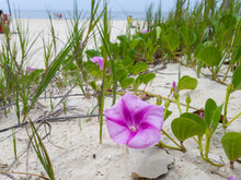 Restinga Area In Itacoatiara With Pink Flowers Called Ipomea Is Found In Restinga Ecosystems, On The Most Preserved Beaches In Brazil.
