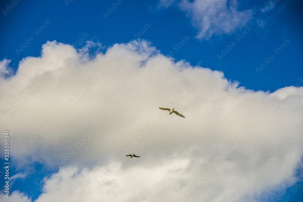 Fototapeta biała mewa piękny ptak lata po niebie nadmorskim