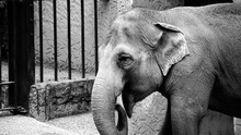 Sad Looking Indian Elephant In His Fence, In A City Zoo