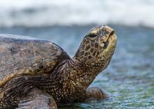 Turtle On The Beach, Oahu Hawaii