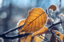 Backlit Frozen Leaves On A Win...