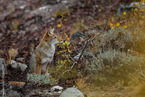 Canvas Print Wild Coyote in Sierra mountains