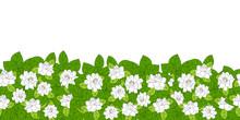 Summer Flowering Shrub In Full...