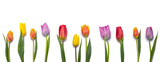 Fototapeta Tulipany - tulips isolated on white background