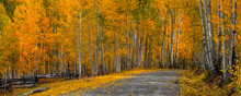 Panoramic View Of Scenic Drive Through Colorful Aspen Trees