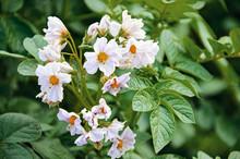 Flowering Potato. Potato Flowe...