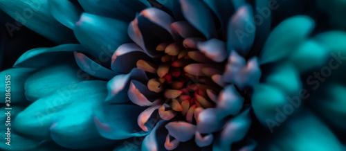 Blooming chrysanthemum or daisy flower, close-up floral petals as botanical back Fototapete