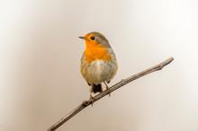 European Robin In The Beautifu...
