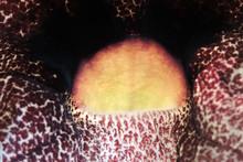 A Close-up Of A Calico Flower