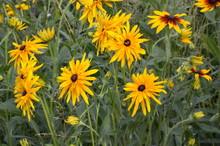 Graceful Flower Of A Coneflowe...