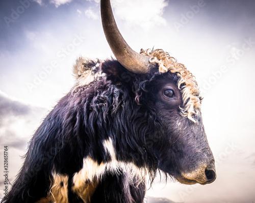 fototapeta na lodówkę funny cow
