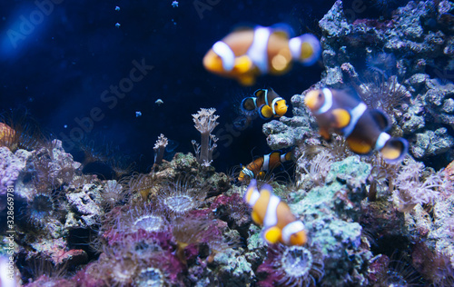 Obraz na plátne clown fish in aquarium, anemone on background reef coral sea, anemonefish in oce