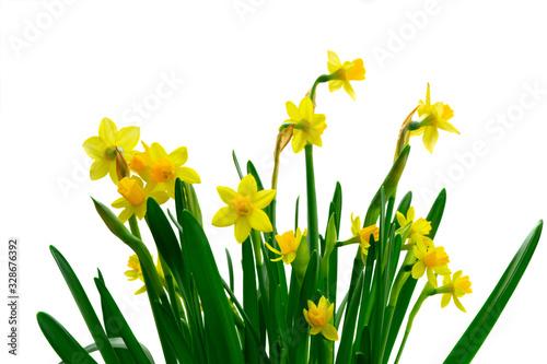 Fotografía Yellow daffodil flowers