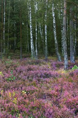 Fototapeta Las Forest floor of blooming heather flowers close-up, green birch trees in the background. Autumn landscape. Latvia