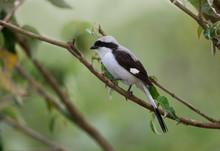 Grey Backed Fiscal Shrike, Lanius Excubitoroides, Lake Naivasha, Kenya, Africa