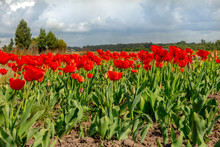 Field Of Red Tulips On A Background Of Blue Sky, Growing Flowers On A Farm