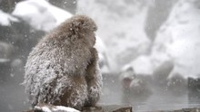 Japanese Snow Monkey Macaque M...
