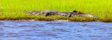 Two Alligators Are Seen Sunnin...